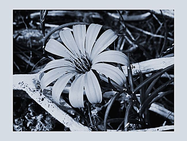 Black & White Flower Beauty In Nature Flowers Lovers Nature Photography Fragility Patagonia Chilena Flower Native Flower Collection Nativebeauty  Day