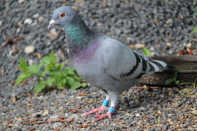 Racing Pigeons Dove Birdwatching Feeding Birds Birds Of EyeEm  Animal_collection Beautiful Birds Dove Love