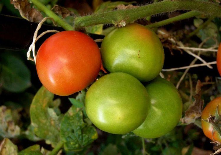 Landscape #Nature #photography Fresh Tomato Austria Burgenland ??