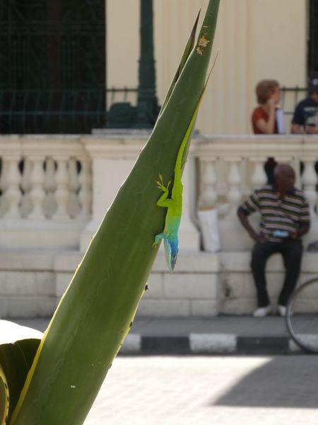 Lizard Lizards Wildlife & Nature Spontaneous Moments Santa Clara Cuba Cuba Animals In The Wild Animal Colorful City