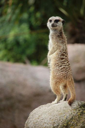 Close-Up Portrait Of Meerkat Standing On Rock