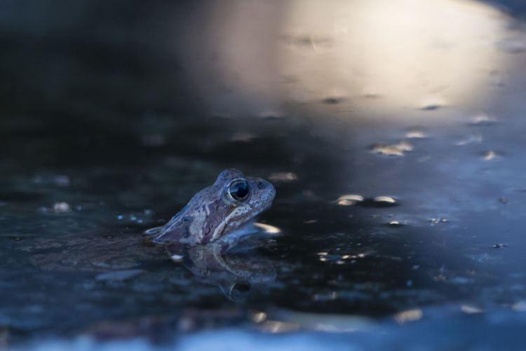 Close-Up Of Frog In Pond