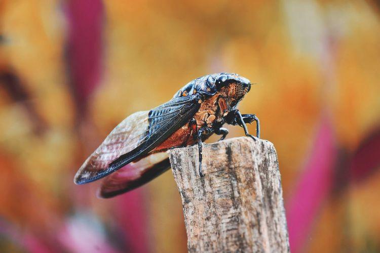 Close-up of cicada on wood