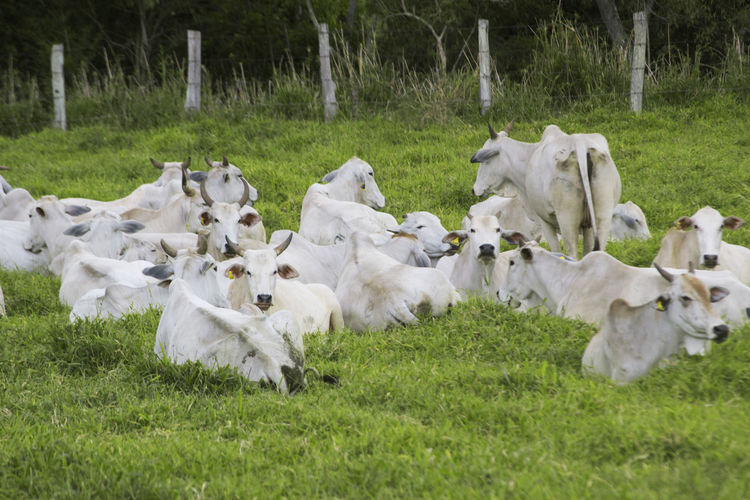 Cows Resting On Grassy Field At Farm