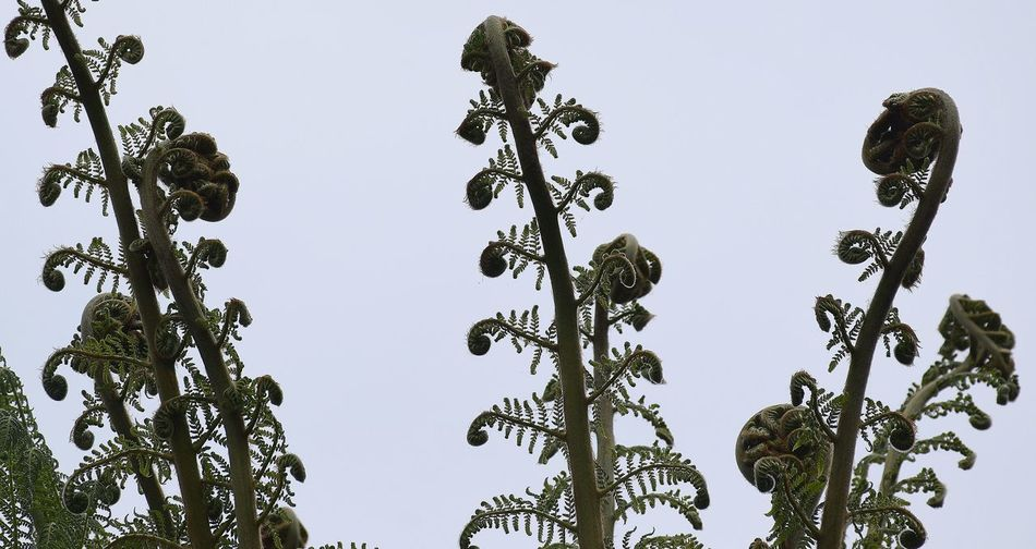 Growth Climbing Upwards Fern Fern Opening Ferns Growin Ferns In Growt Growth Growth In Nature Natural Beauty Natural Growth Plants Feeling Spreading Outwards Unravelling Ferns