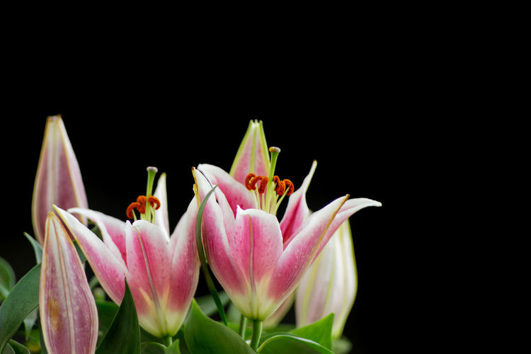 Close-up of fresh pink flowers against black background