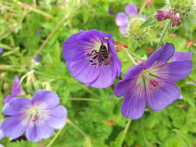 EyeEm Nature Lover Flowerporn For You ;-) Macro_collection HTC One M9 Summertime Bee Geranium