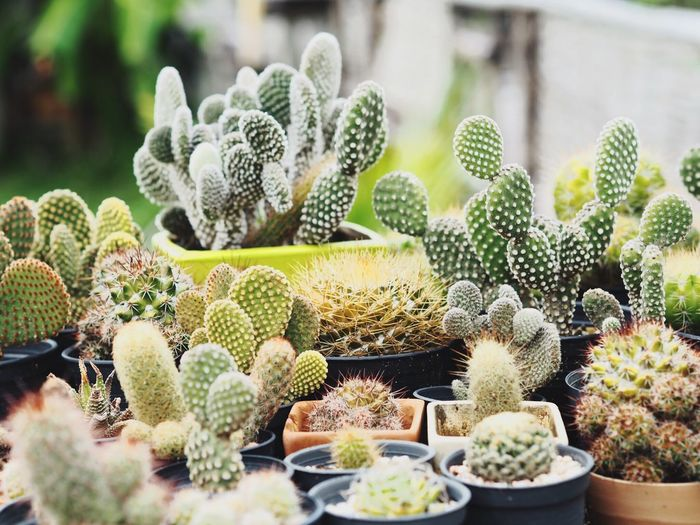 Potted Cactus For Sale In Market