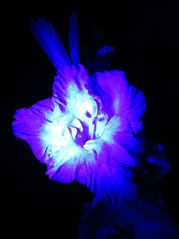 ultra Nature Botanical Flowers Nightgarden Garden Beauty Gladiolus Fleurs МайяПлисецкая ночнойсад гладиолус Silhouette Shade Tone Colored Glow Violet Flower Head Black Background Flower Studio Shot Petal Close-up Plant Life In Bloom Blossom Blooming Cosmos Flower Single Flower Botany