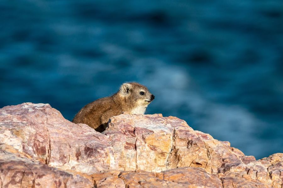 Dassie on the rocks South Africa Dassie Animal Themes Animal Animal Wildlife One Animal Animals In The Wild Rock Rock - Object Mammal No People Nature Focus On Foreground Close-up Outdoors