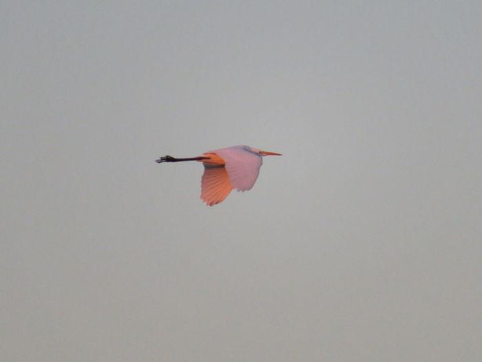 Bird flying in clear sky