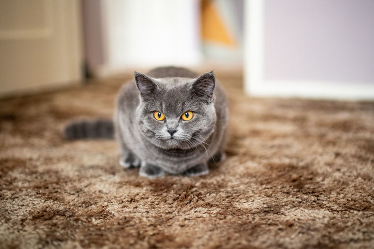 Cat Domestic Cat Feline Domestic Pets Domestic Animals One Animal Mammal Portrait Selective Focus No People Looking At Camera Relaxation Front View Day Close-up Gray Whisker Animal Eye