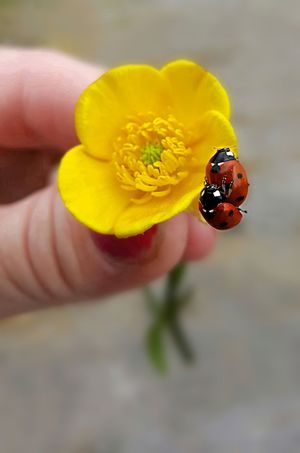 """Ladybug love "" these two naughty bugs didn't even stop making love when I picked them up, I guess they are still at it today 😂😂😂 Love-bugs Two Bugs Mating Matingy Mating Pair Of Insects Flower In Hand 15 Ways Of Seeing: Hands Ladybug Ladybugs Ladybug Love Flower Head Fragility Single Flower Symbiotic Relationship Bug Petal In Bloom Tiny Pollen Pollination"