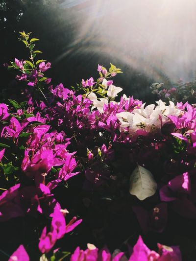 Flowering Plant Flower Plant Pink Color Freshness Beauty In Nature Fragility Vulnerability  Growth Nature Day Petal Close-up No People Leaf Outdoors Plant Part Flower Head Inflorescence Sunlight Springtime Purple Lilac