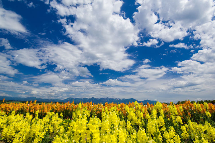Abundance Agriculture Beauty In Nature Blooming Blossom Cloud Cloud - Sky Cloudy Day Field Flower Fragility Freshness Growth Horizon Over Land In Bloom Landscape Nature Plant Rural Scene Scenics Sky Tranquil Scene Tranquility Yellow