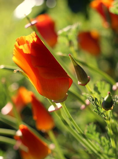 Flower Nature Close-up Springtime Vibrant Color Orange Beauty In Nature Sunset_collection Foreground Focus Background Blur Beautiful Nature Garden Photography Californian Poppy Focus On Foreground Freshness Colors Of Nature EOS500d