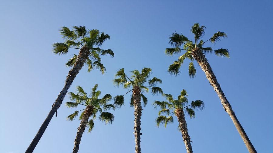 5 Palms The Purist (no Edit, No Filter) EyeEm EyeEm Gallery Eyeemphotography TreePorn Anaheim, Ca USA S6