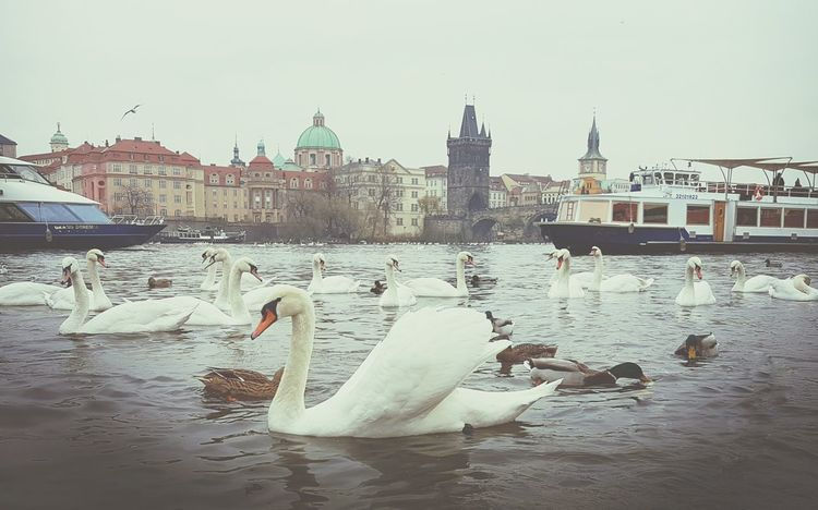 Bird Reflection Water Travel Destinations Animal Themes Large Group Of Animals No People Eyeemphotography Nature Photography Charles Bridge Extreme Weather Beautiful Day Prague Tower Prague Czech Republic EyeEm Best Edits Prague Time Eyeem Market Prague Old Town Praguelover Large Group Of Animals EyeEm Nature's Diversities Architecture Building Exterior Statue