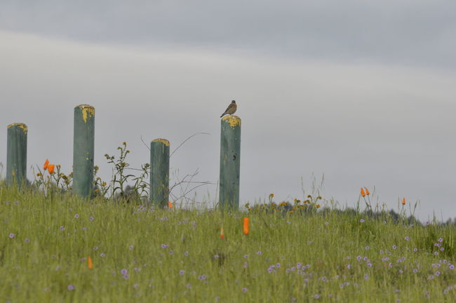 Spring Equinox Bird Birds And The Bees California Poppies Lone Bird Overcast Sky Solitary Solitary Moments Solitude Spring Spring Bird Wildflowers Urban Spring Fever