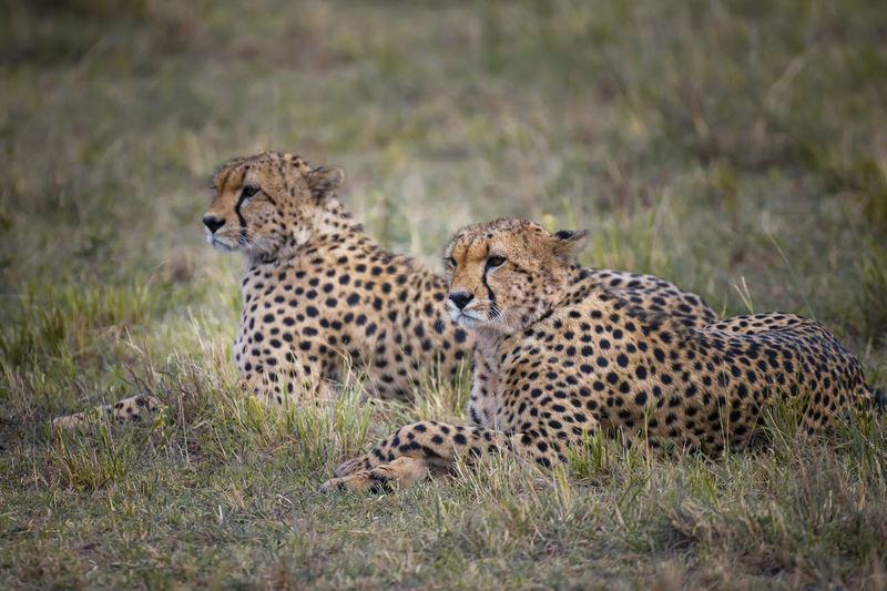 Cheetahs relaxing on field