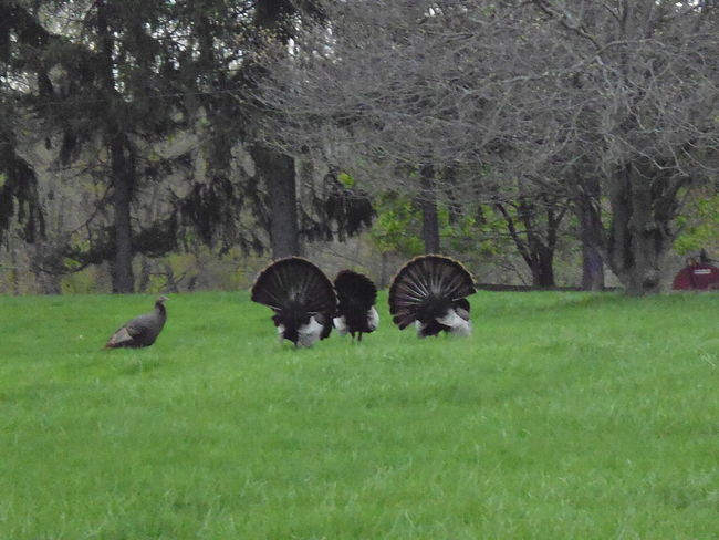 """The Trio"" - Flock of Wild Turkeys in Wellsburg, West Virginia Animals In The Wild Field Grass Green Color Nature Nature Photography Northern USA Susan A. Case Sabir Unretouched Photography Wellsburg, WV (USA) Animal Themes Animal Wildlife Beauty In Nature Bird Day Flock Of Turkeys Flock Of Wild Turkeys Month Of April No People Outdoors Relaxation Togetherness Trio Turkeys Wild Turkeys"