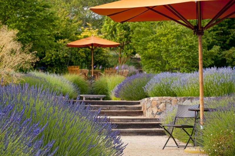 Lavender garden with sitting area Agriculture Beauty In Nature Chairs Foliage Garden Gardening Green Color Landscaping Lavenderflower Lush Foliage Nature No People Outdoors Pathway Plants And Flowers Scenic View Sitting Area Summertime Tranquil Scene Umbrella