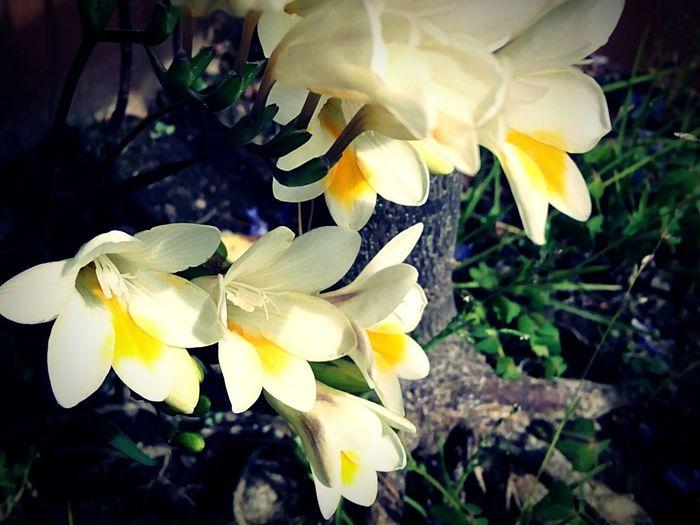 Fresie Fresias Fresien Flowers For Ewa