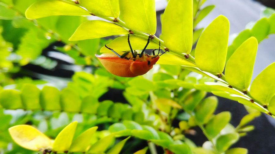 Insect Horizontal Orange Color No People Growth Color Image Animals In The Wild Photography Animal Insect Photography Insects Collection Insect Leaf No People Animal Wildlife Plant Nature Animals In The Wild Insect Green Color Day Outdoors Animal Themes Beauty In Nature Freshness
