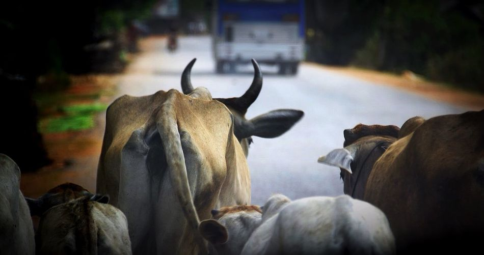 Rear view of cows with calves on road