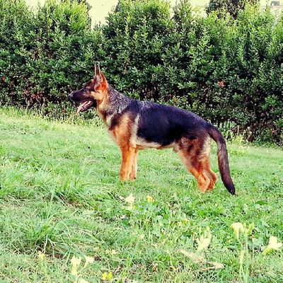 Germanshepard Pastoretedesco Dog Dogs Cane Cani Bestfriend Bestfriends Friends Followme Follow4follow Followback Like4fun Likeforfollow Likeforlike Puppy Puppies Green Park Napoli
