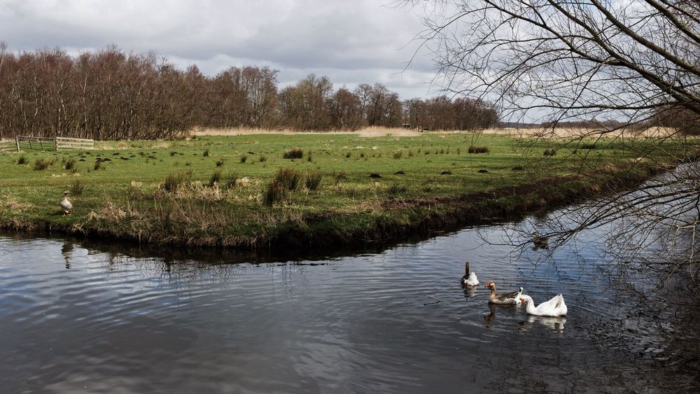 Geese Dutch Landscape Landscape_photography In The Field Wandering