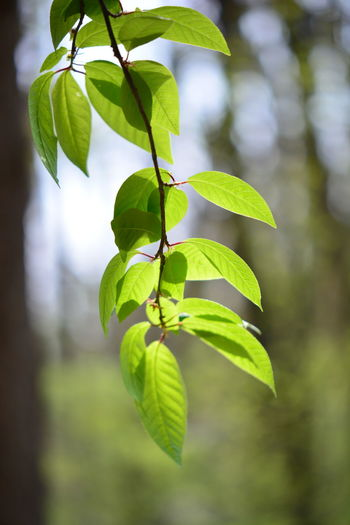 Leaf Plant Part Plant Green Color Growth Close-up Nature Focus On Foreground Beauty In Nature Tree No People Day Outdoors Freshness Branch Selective Focus Tranquility Leaves Plant Stem Twig