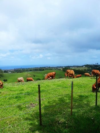 Grazing Cows Hill Landscape Barbados Islandlife