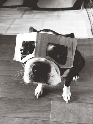he doesn't like this mask... I have to make new one by other material. May be cotton shirts is better. Bostonterrier Dog ボストンテリア Boston Terrier