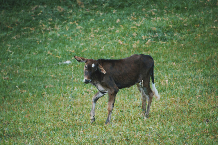 Side view of calf standing on grassy field