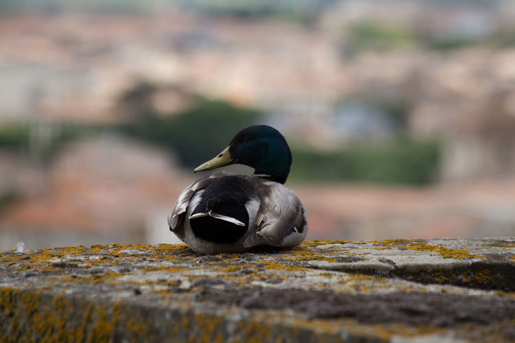 Beak Bird Depth Of Field Duck Nature On Top Of The World Outdoors Side View Wildlife