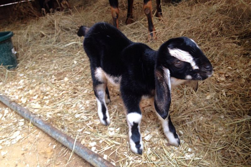 Goat Life Goat Goatfarm Animal Photography Animal_collection Cute Pets Hello World Babygoat Newborn Lovable Pets! Smile Animal Serenitygoats Serenityacres Lovable Lovable Pets