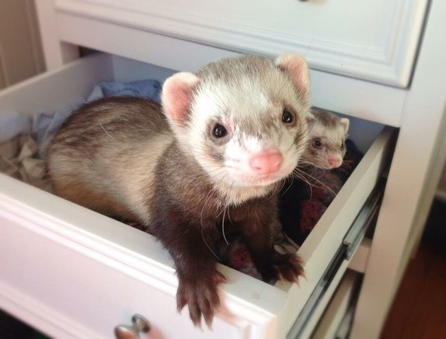 Pretty ferret in a drawer Young Animal White Selective Focus White Color Polecat Portrait No People Pets Mammal June Showcase Ferret Domestic Animals Close-up Cute Animal Themes Animal Head  Whisker Weasel Animal