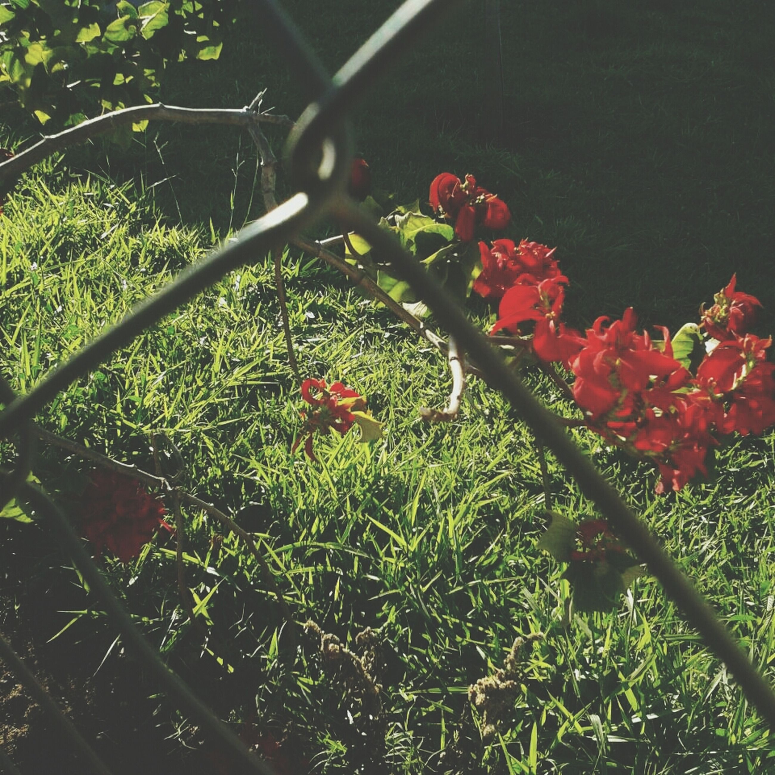 growth, plant, red, freshness, flower, nature, leaf, green color, fence, beauty in nature, day, close-up, tree, no people, fragility, outdoors, branch, metal, chainlink fence, growing