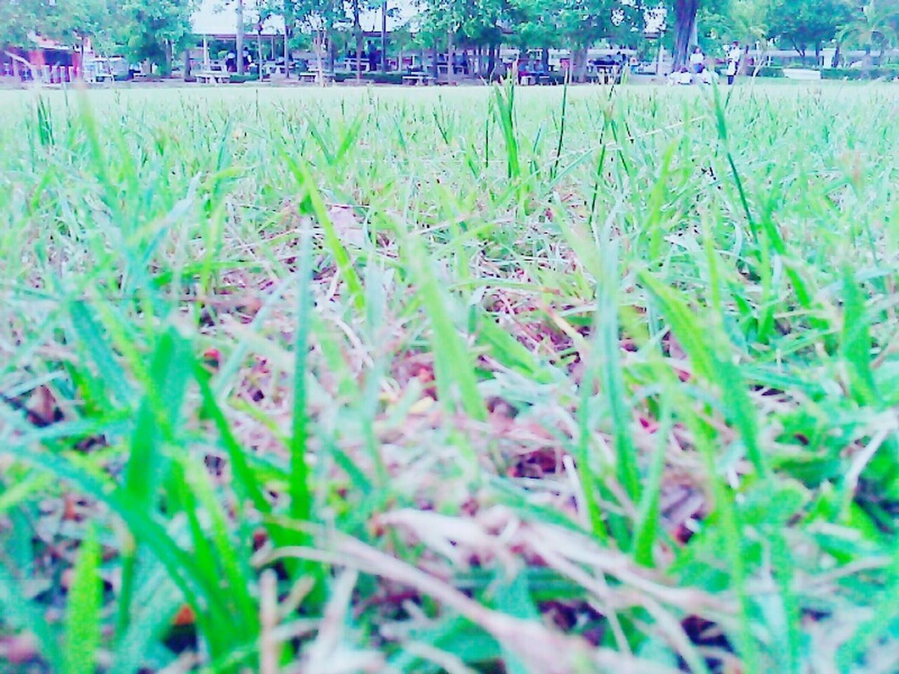 grass, field, growth, nature, selective focus, tranquility, outdoors, beauty in nature, no people, day, freshness, close-up