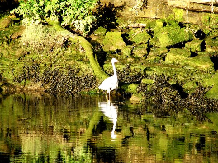 Crane - Bird Reflection River Coquet Warkworth Northumberland Water Full Frame Backgrounds Lake Reflection Close-up Grass