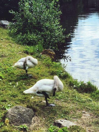 Bird Swan Animal Themes Animal Water Vertebrate Group Of Animals Lake Nature High Angle View No People Outdoors Swan Animal Wildlife