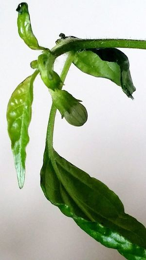 Red Chili Leaf White Background Plant Part Living Organism Close-up Plant Green Color