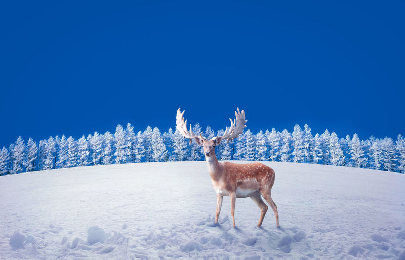 Deer Standing On Snowy Field Against Clear Blue Sky During Sunny Day