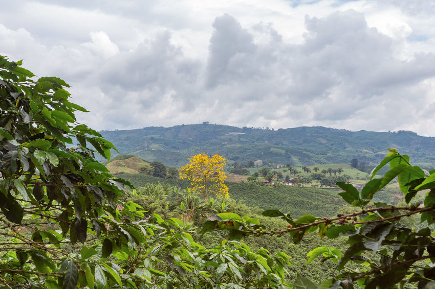 A yellow tree grows in the middle of a coffee plantation near Chinchina, Colombia. Andes Caffeine Coffee Colombia Farm Latin Manizales Nature Plant South Travel America Arabica Bean Caldas Chinchina Colombian  Drink Landscape Mountain Organic Plantation Robusta Triangle Tropical