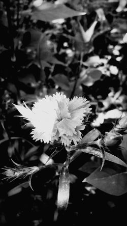#blackandwhite #flowers #camera #perfect Flower Head Flower Leaf Close-up Plant Passion Flower Pollen Single Flower Osteospermum Sunflower Cosmos Flower Pistil Plant Life Hibiscus In Bloom Eastern Purple Coneflower Blossom Petal Stamen Coneflower Gazania Blooming Botany