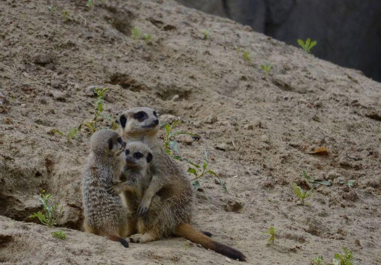 Close-Up Of Meerkat Family
