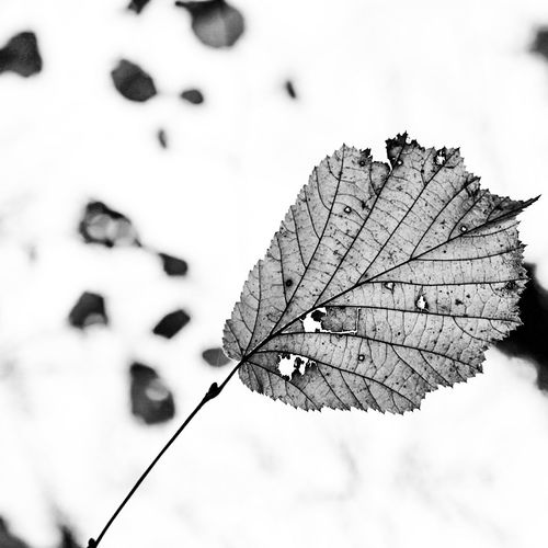 Beauty In Nature Blackandwhite Bnw Close Up Close-up Fragility Leaf Leaves Lines Lines And Angles Lines And Shapes Nature Nature Photography Nature_collection Outdoors