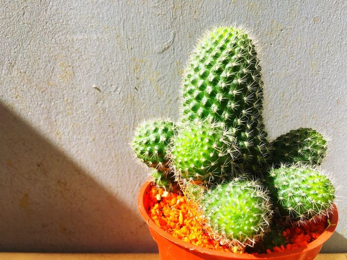 Younger cactus