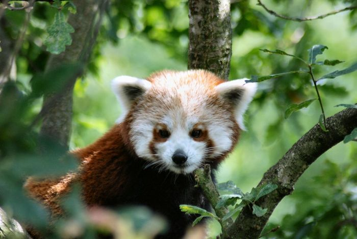 Chester Zoo Red Zoo Animal Themes Animal Wildlife Close-up Cute Furry Mammal Nature No People One Animal Panda Panda - Animal Red Panda Tree